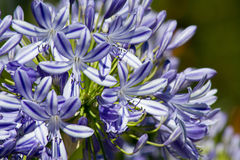 Blue flowering Agapanthus in a garden royalty free stock image