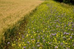 Blue flowering bundle and yellow mustard as a forage belt along a wheat field for bees and insects. The landscape is more varied