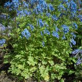 Blue flowering Corydalis flexuosa Royalty Free Stock Photos