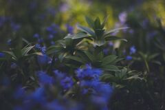 Blue Flowering Green Plaant Royalty Free Stock Photos
