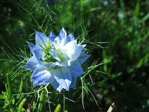 A blue flowering love in a mist in summer. A blue flowering love in a mist (nigella damascene Stock Photography