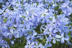 Blue flowering phlox plant. Royalty Free Stock Photo