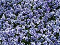 Blue Flowers in Ōdōri Kōen Royalty Free Stock Images