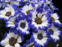 Blue flowers. A closeup of some blue flowers stock images