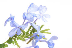 The blue flowers. Isolated on white background Royalty Free Stock Photography