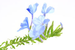 The blue flowers. Isolated on white background Royalty Free Stock Photo