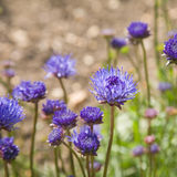 Blue flowers. Of Jasione heldreichii Royalty Free Stock Image