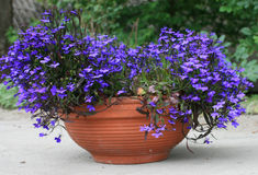 Blue flowers. In a flowerpot royalty free stock photo