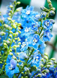Blue flowers. A background springtime floral image of blue flowers Royalty Free Stock Photos
