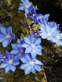Blue flowers. Image of a bush with blue flowers Stock Photography