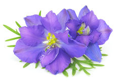 Free Blue Flowers Royalty Free Stock Photography - 32075977