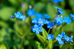 Blue flowers. Bright blue flowers named Blue-eyed-Mary in flowerbed in spring Stock Images