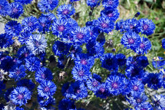 Blue flowers. In a field of blue Royalty Free Stock Photo
