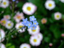 Blue flowers. Wild blue flower and many flowers in background Stock Image