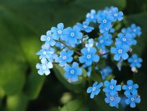 Blue Flowers Royalty Free Stock Images