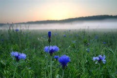 Blue Flowers against the sunrise. Flowers against the sunrise in open field with fog Royalty Free Stock Images
