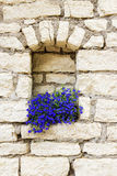 Blue flowers against the wall of the old stone house.  Stock Images