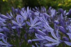 Blue flowers of agapanthus africanus Royalty Free Stock Photos