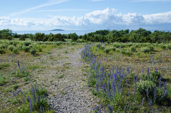 Blue flowers along the footpath to the beach Stock Photography