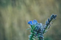 BLUE FLOWERS. Autumn morning of the field plant Royalty Free Stock Photography