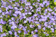 Blue flowers background (lobelia) Stock Photos