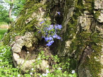 Blue flowers on the bark of the tree. Blue flowers on the bark of the old tree royalty free stock photos