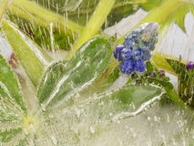 Blue flowers and beautiful green leaves in ice Royalty Free Stock Image
