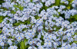 Blue flowers and bee Stock Images