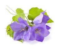Blue flowers bellflowers. On white background. Campanula stock image