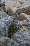 Blue flowers bells among the stones on the mountainside royalty free stock photo
