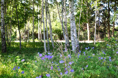 Blue flowers in birch forest Royalty Free Stock Photography