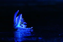Blue flowers black background macro Royalty Free Stock Photography