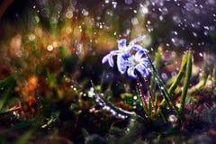 Blue flowers black background macro Royalty Free Stock Photos