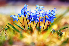 Blue flowers black background macro Stock Photography