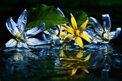 Blue flowers black background macro Stock Photos