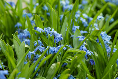 Blue flowers bloom in the garden. Blue scilla & x28;Scilla siberica& x29; blooming in the garden Royalty Free Stock Image