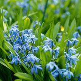 Blue flowers bloom in the garden. Blue scilla & x28;Scilla siberica& x29; blooming in the garden Royalty Free Stock Photos
