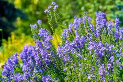 Blue flowers in blossom on a sunny day, blurred background no people royalty free stock image