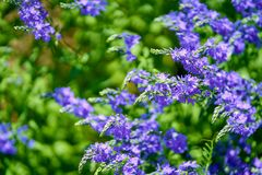 Blue flowers in blossom on a sunny day, blurred background no people stock photos
