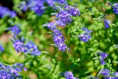Blue flowers in blossom on a sunny day, blurred background no people royalty free stock photo