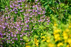 Blue flowers in blossom on a sunny day, blurred background no people royalty free stock photography