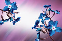 Blue flowers blossoms Royalty Free Stock Image