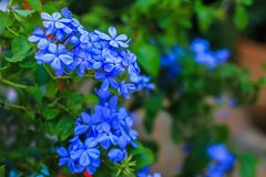 Hydrangea, Blossom, Flower, Holiday - Event, Petal royalty free stock photos