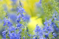 Blue flowers with blurred background royalty free stock photo