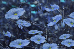 Blue flowers on blurry blue background. Floral background. Blue wildflowers in the grass Royalty Free Stock Photos