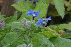 Blue flowers of Borage in garden stock photos