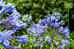 Blue flowers at botanical garden royalty free stock images