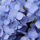Blue flowers. Bouquet of beautidul blue flowers, Hydrangea Royalty Free Stock Photos
