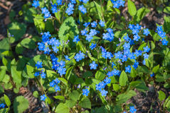 Blue flowers. Bright blue flowers named Blue-eyed-Mary in flowerbed in spring Stock Photos