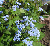 The blue flowers of Brunnera Royalty Free Stock Photos